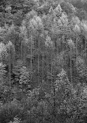 Ansel Adams, Dawn, Autumn Forest, Great Smoky Mountains National Park, Tennessee, 1948, Gelatin silverprint on paper, Knoxville Museum of Art; Gift of Patricia and Alan Rutenberg and Mary Ellen and Steve Brewington, 2009. All images © The Ansel Adams Publishing Rights Trust.
